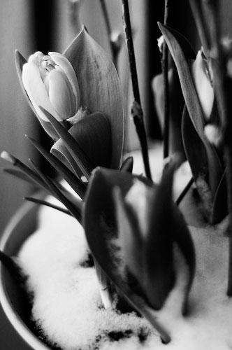 Snöiga blommor